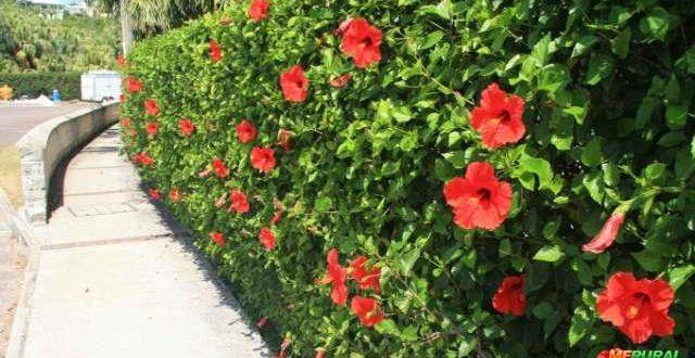 Exemplo de cerca viva com hibiscos